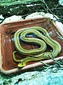 Negev Zoo snake IMG 1094.JPG