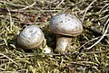 Nekielka fungi.jpg