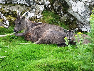 Chinese goral species of mammal