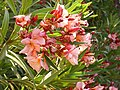 Nerium oleander 'Mrs Roeding' Poblado.jpg