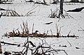 Nesting Common Loon (41750965054).jpg