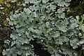 Net-marked Parmelia - Parmelia sulcata (38530751570).jpg