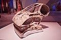 Nigersaurus skull.jpg