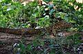 Nile Monitor (Varanus niloticus) (7662950934).jpg