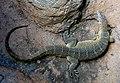 Nile Monitor Lizard. (10718777283).jpg