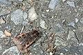 Noctuidae (23479559214).jpg