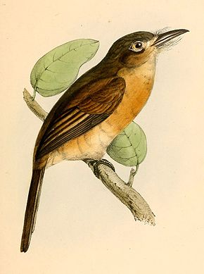 Description de l'image Nonnula rubecula rubecula 1841.jpg.