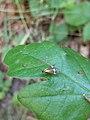 Noordwijk - Coepelduyn - Geelbandlangsprietmot (Nemophora degeerella).jpg