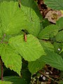 Noordwijkerhout - Leeuwenhorstbos - Kleine rode weekschildkever (Rhagonycha fulva) v2.jpg