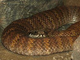 Northern Death Adder - National Aquarium, Baltimore - April 5, 2011.jpg