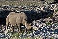 Noshörning-2231 - Flickr - Ragnhild & Neil Crawford.jpg