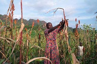 Agriculture in Sudan - A farmer in the Nuba Mountains