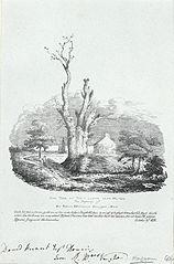Oak Tree at Tyn Y Llwyn near Meifod. The property of Sir Robert Williames Vaughan-Bart