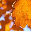 Oak leaf in morning light (2948484299).jpg