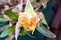 Oenothera macrocarpa 0zz.jpg