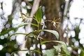 Oerstedella medinae (Orchidaceae) (32096481131).jpg