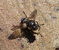 Oestridae. Hypoderma iparece - Flickr - gailhampshire (1).jpg