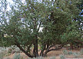 Old apple tree Swall orchard.jpg