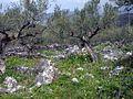 Olive Grove (158100468).jpg