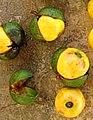 Ongokea gore fruits.jpg