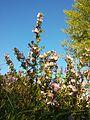 Ononis spinosa subsp. spinosa sl5.jpg