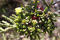 Opuntia cylindrica Jardín botánico de Valencia (1).JPG