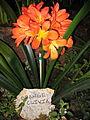 Orange Clivia garden show 1.jpg