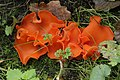Orange Peel Fungus - Aleuria aurantia (24161270668).jpg