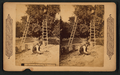 Orange gathering in California, from Robert N. Dennis collection of stereoscopic views.png