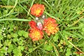 Orange hawkweed (NH) (29989418105).jpg