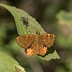 Orange sprite (Celaenorrhinus galenus) Ethiopia.jpg