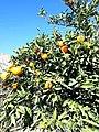 Orange tree in hepron.jpg