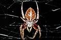 Orb Spider (Araneus sp?) (8572428020).jpg