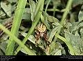 Orbweaver (Araneidae) (29470981733).jpg