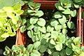 Origanum rotundifolium Kent Beauty 0zz.jpg