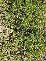 Ornithopus compressus plant (02).jpg