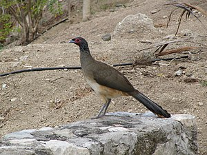 West Mexican chachalaca - In Mexico