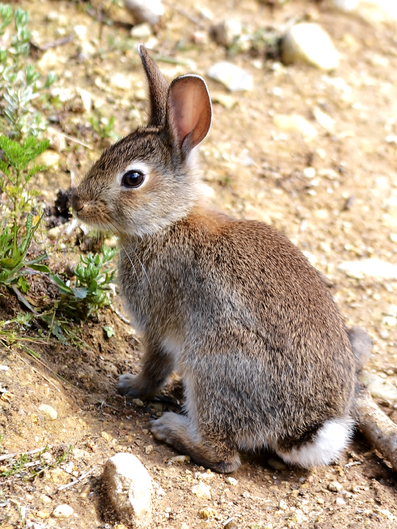 Oryctolagus cuniculus 00003.png