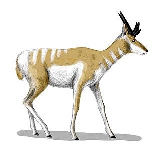 <i>Osbornoceros</i> genus of mammals