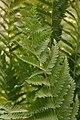 Osmunda cinnamomea 16zz.jpg