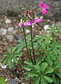 Oxalis lasiandra IMG 2529.jpg