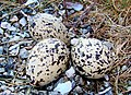 Oystercatcher Eggs Norway.jpg