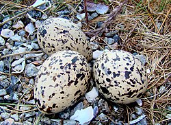 Nærbilde av eggene i reiret på bildet over.