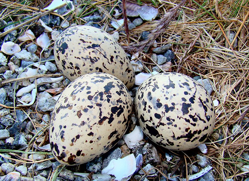 File:Oystercatcher Eggs Norway.jpg - Wikipedia, the free encyclopedia