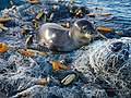 PMNM - Hawaiian monk seal hauled out on large net at Pearl and Hermes Atoll (27094932105).jpg