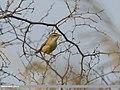Paddyfield Warbler (Acrocephalus agricola) (25766253368).jpg