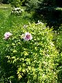 Paeonia 4 (Poltava Botanical garden).jpg