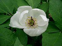 Paeonia japonica2