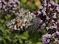 Painted Lady - Vanessa cardui (15114993883).jpg