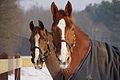 Pair of horses.jpg